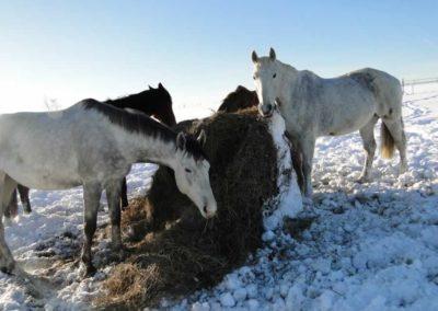 konie-0050